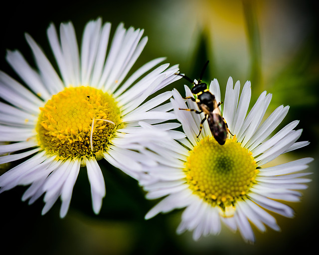 nature-insect-bee-flower-pollen picture material