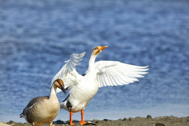 bird-wildlife-seagulls-no-person-water picture material