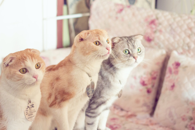 cat-cute-kitten-portrait-pet picture material