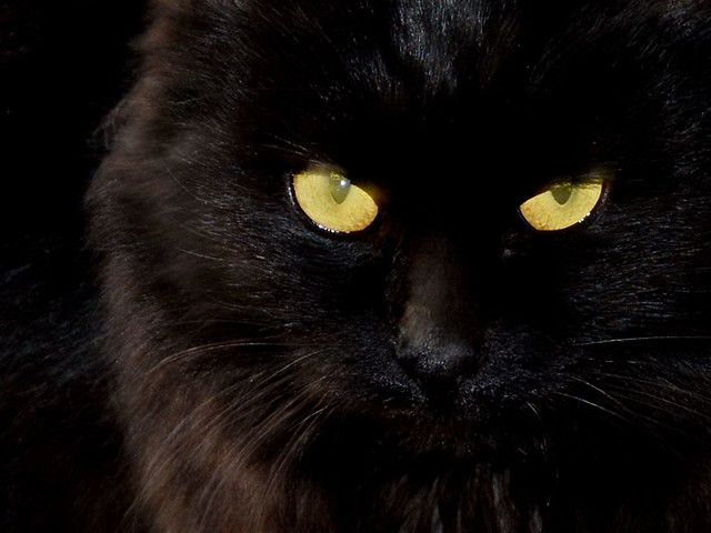 cat-black-cat-portrait-no-person-eye picture material
