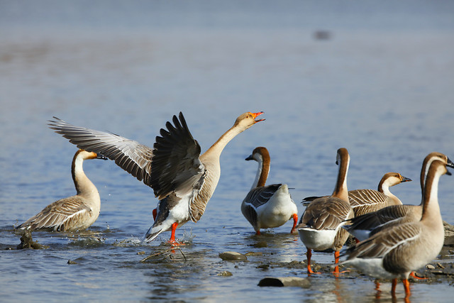 bird-goose-duck-waterfowl-wildlife picture material