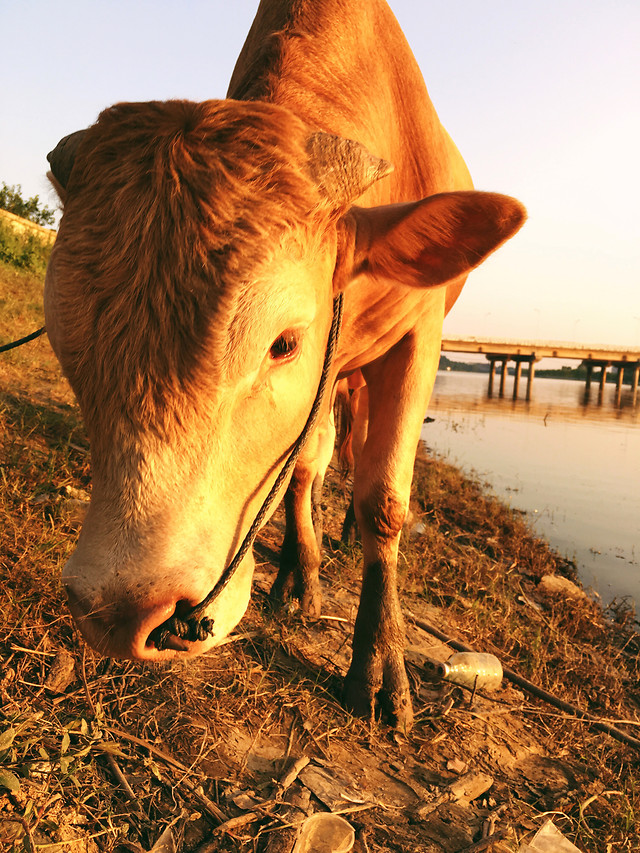 cow-mammal-cattle-farm-livestock picture material