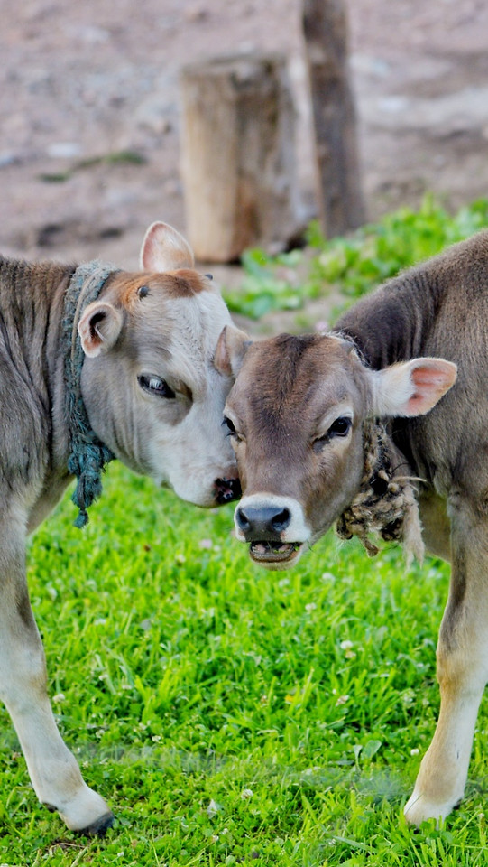 mammal-grass-cow-animal-cattle picture material