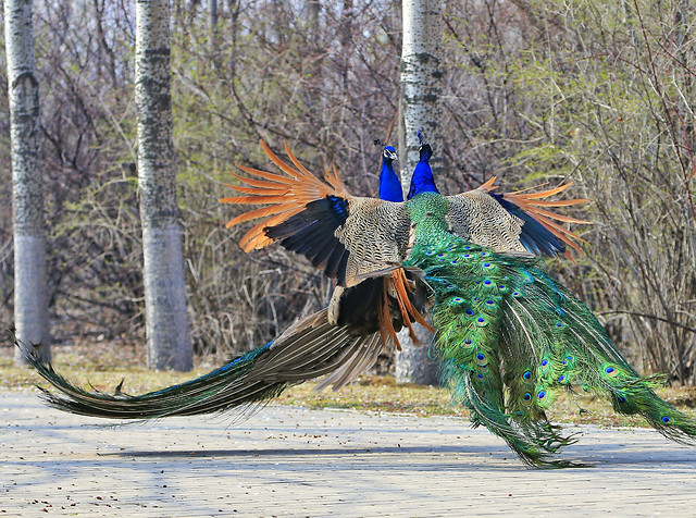 bird-nature-peafowl-feather-wood picture material