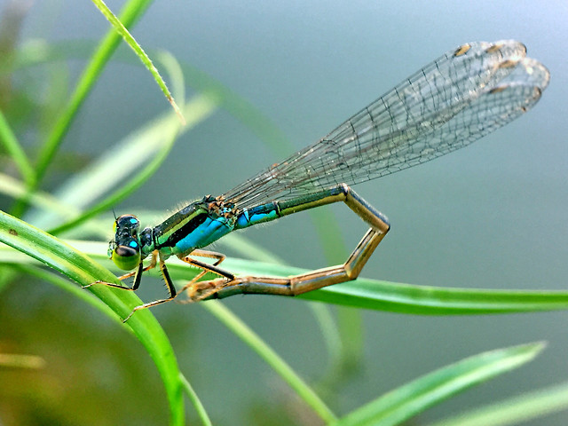 dragonfly-insect-nature-fly-wildlife picture material