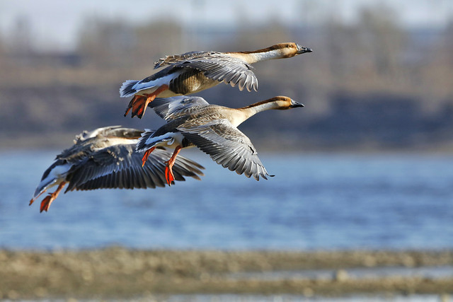bird-wildlife-goose-waterfowl-flight 图片素材