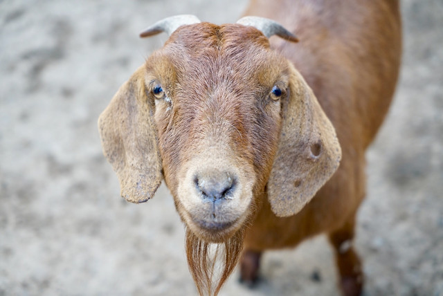 nature-animal-goats-no-person-goat picture material