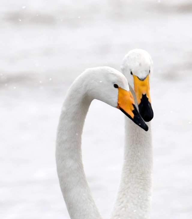 swan-winter-snow-bird-nature picture material