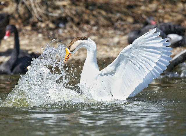 bird-water-wildlife-nature-animal 图片素材