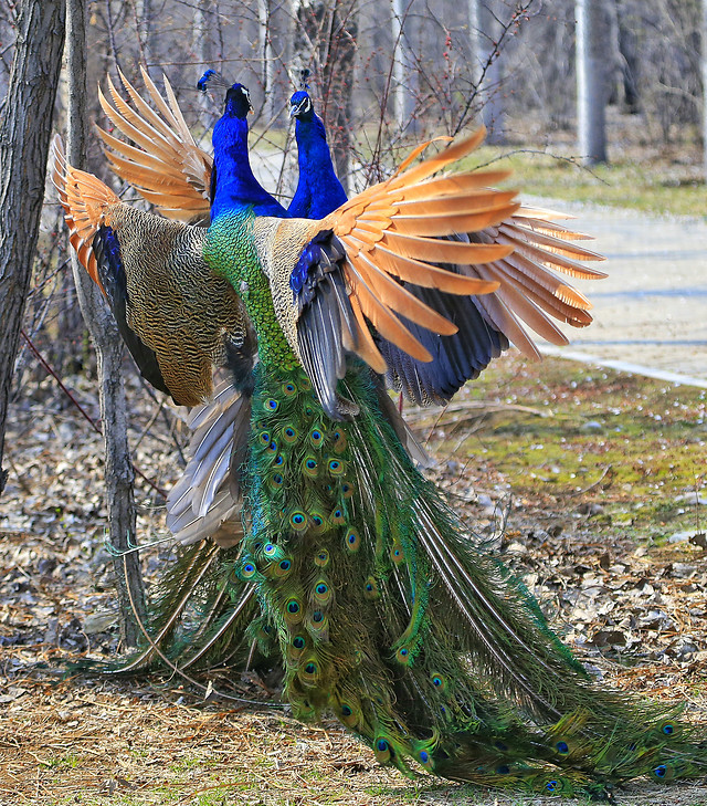 bird-feather-nature-peacock-tail picture material