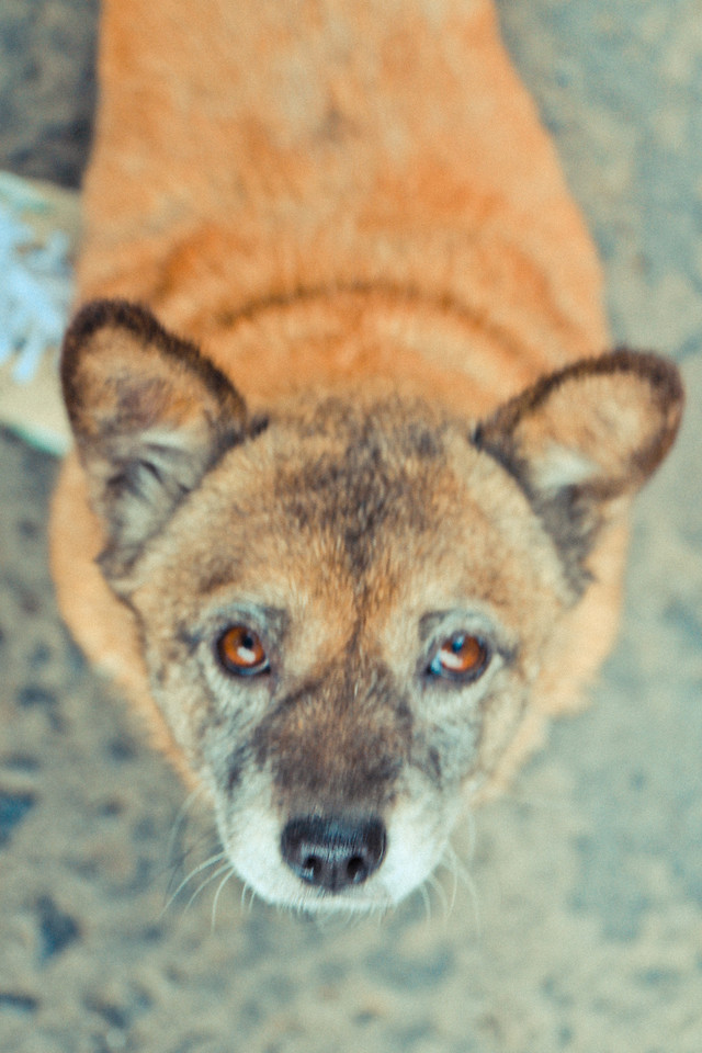 mammal-wildlife-animal-portrait-dog picture material