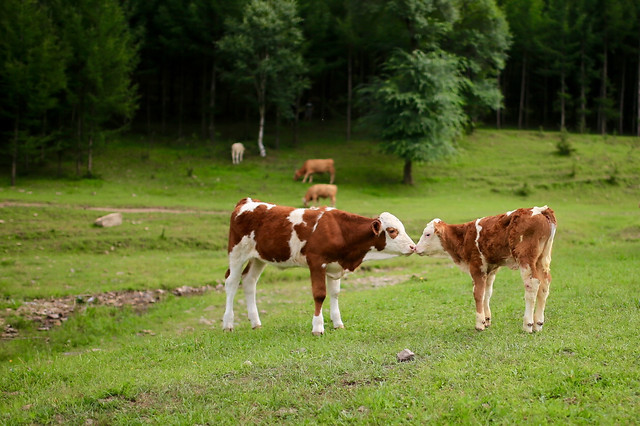 cow-mammal-grass-pasture-farm picture material