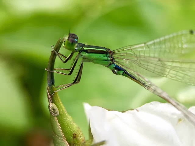 dragonfly-insect-nature-wildlife-damselfly picture material