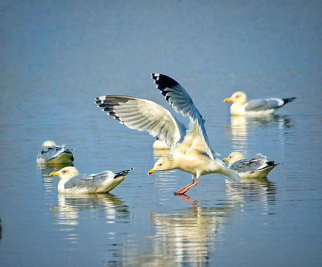 bird-seagulls-wildlife-flight-animal picture material