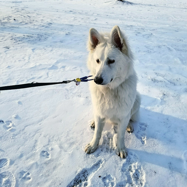 snow-winter-dog-frosty-sledge picture material