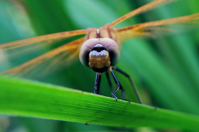 insect-dragonfly-no-person-nature-wildlife picture material