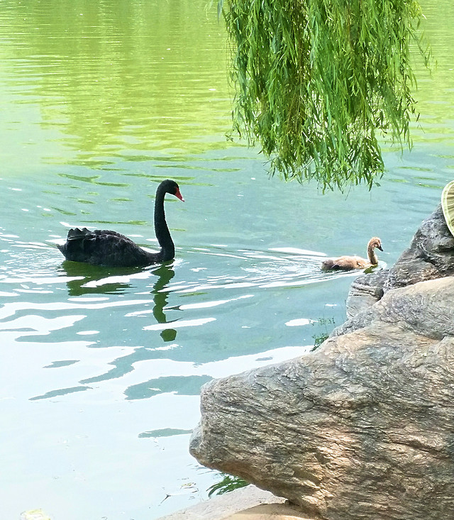 water-nature-swimming-lake-bird 图片素材