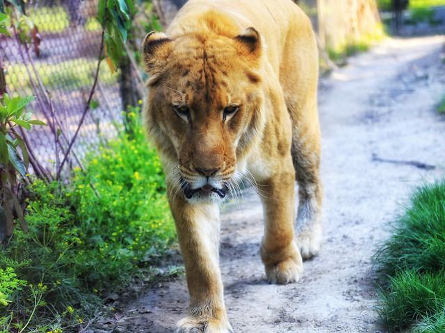 mammal-wildlife-cat-nature-animal picture material