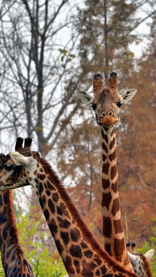 giraffe-wildlife-mammal-nature-wild picture material