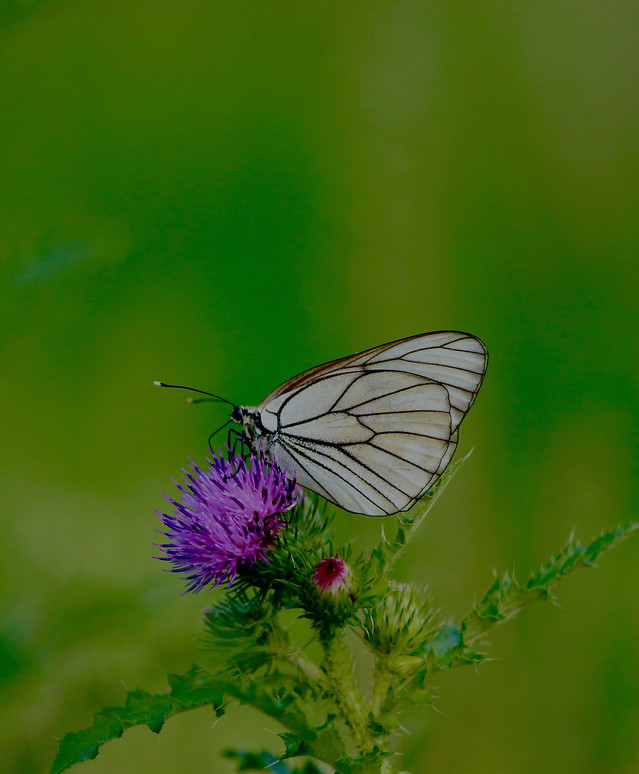 butterfly-insect-nature-summer-antenna picture material