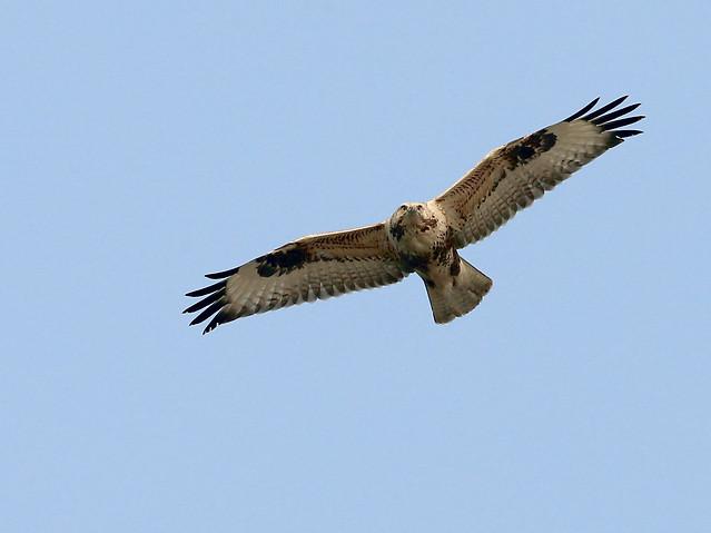 raptor-bird-eagle-hawk-kite picture material