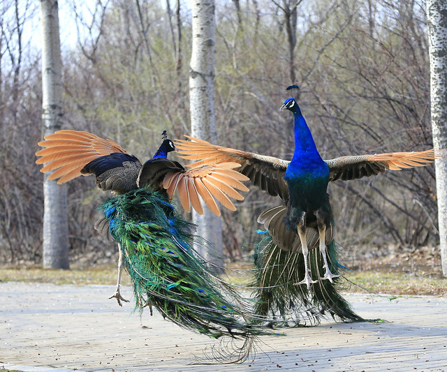 bird-feather-nature-peafowl-animal picture material