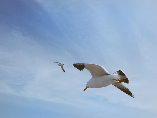 seagulls-bird-no-person-flight-wildlife picture material