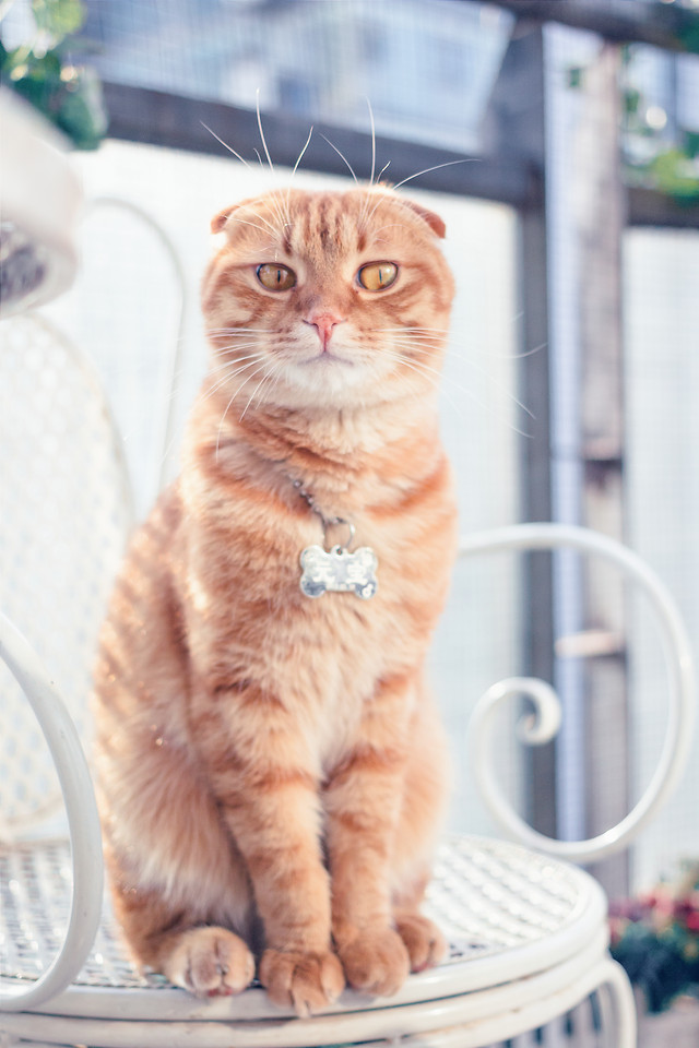 cat-domestic-cute-kitten-pet picture material
