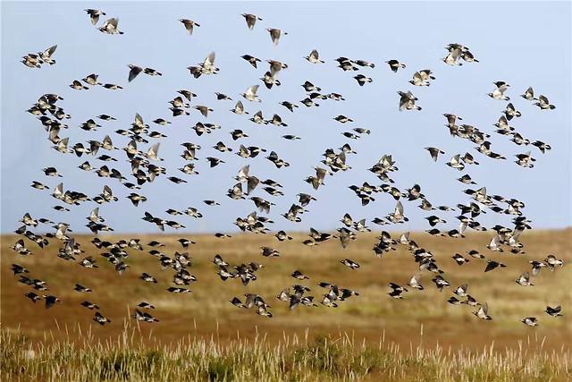 bird-goose-wildlife-animal-nature picture material