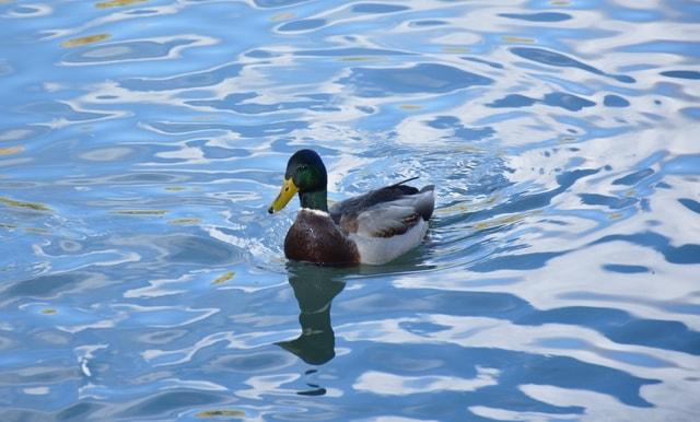 duck-bird-water-bird-ducks-geese-and-swans-waterfowl 图片素材
