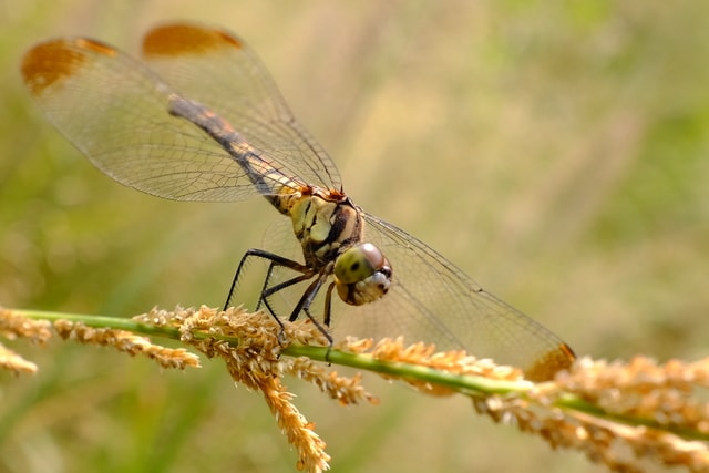 dragonfly-insect-invertebrate-wildlife-damselfly picture material