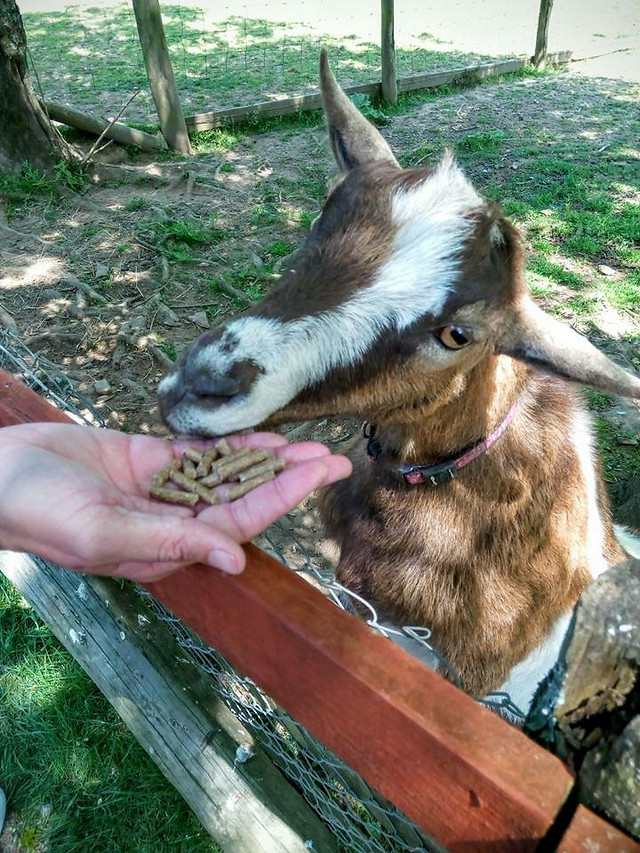 mammal-nature-goats-animal-cute picture material