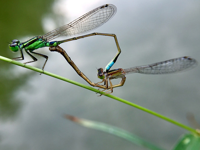 dragonfly-insect-fly-damselfly-wildlife picture material