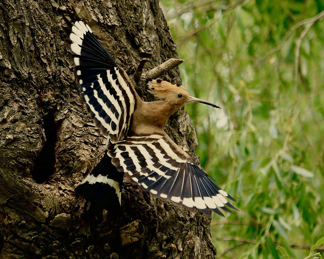 nature-wildlife-bird-animal-wing picture material