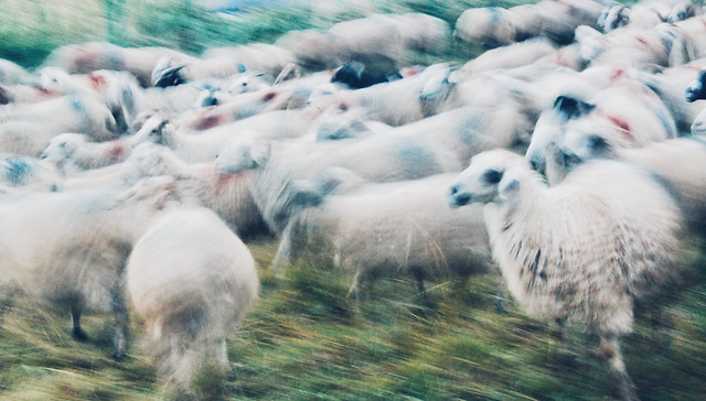 sheep-farm-livestock-animal-mammal picture material