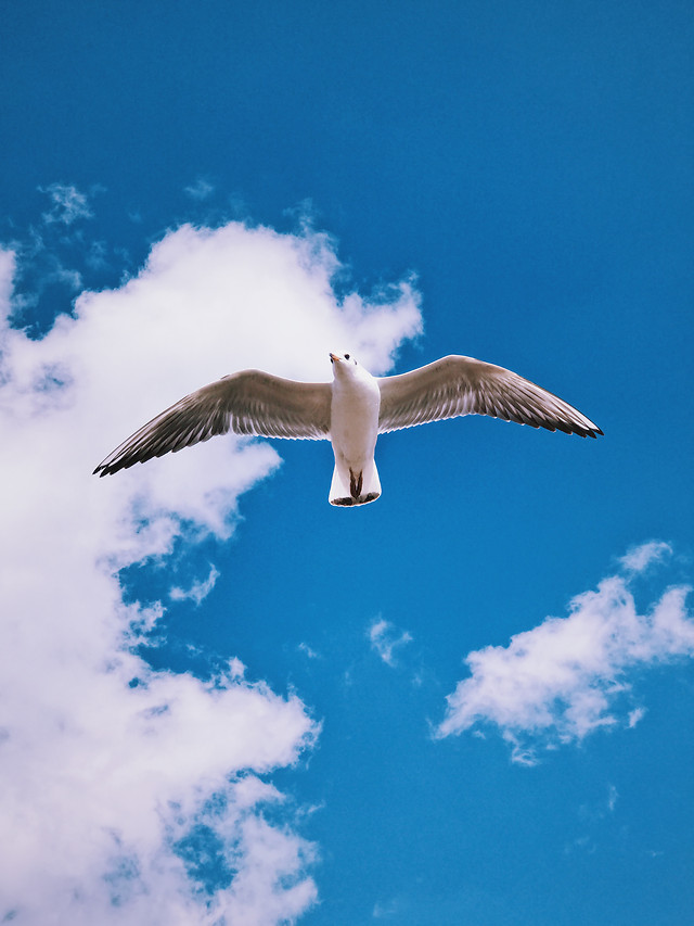 seagulls-bird-sky-freedom-flight picture material