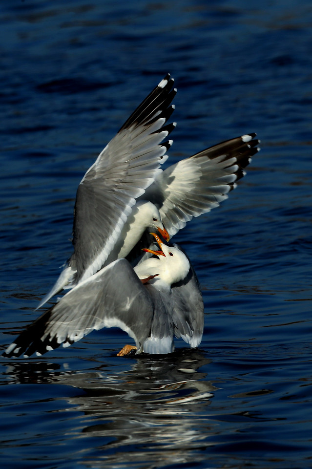 bird-seagulls-wildlife-feather-fly picture material