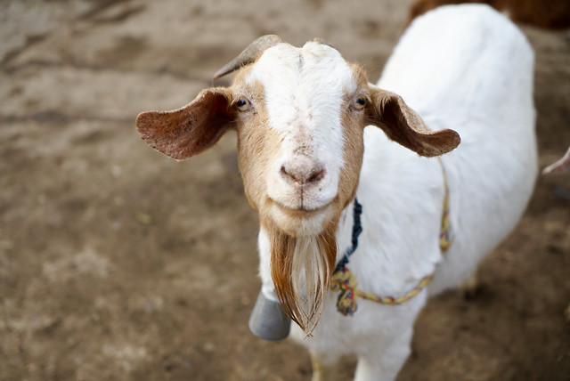 goat-no-person-sheep-mammal-goats picture material
