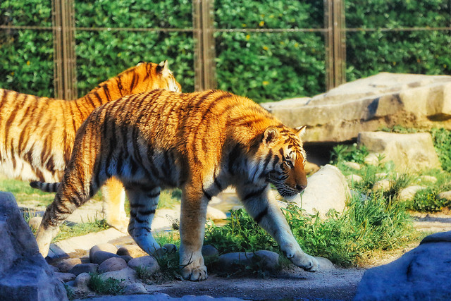 tiger-wildlife-nature-mammal-cat picture material