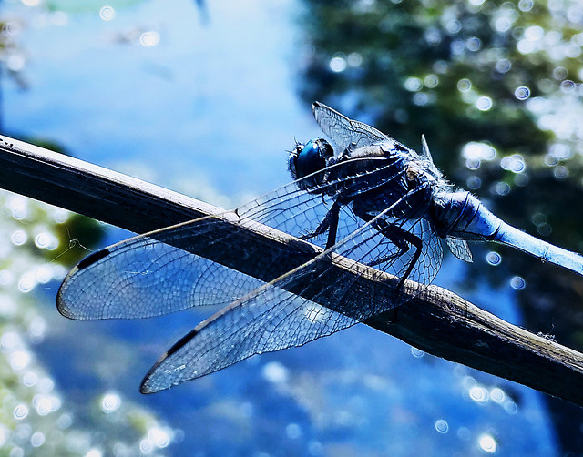 wing-dragonfly-insect-flight-dragonflies-damseflies picture material