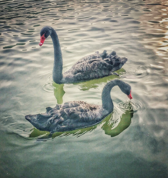 swan-bird-neck-lake-water picture material