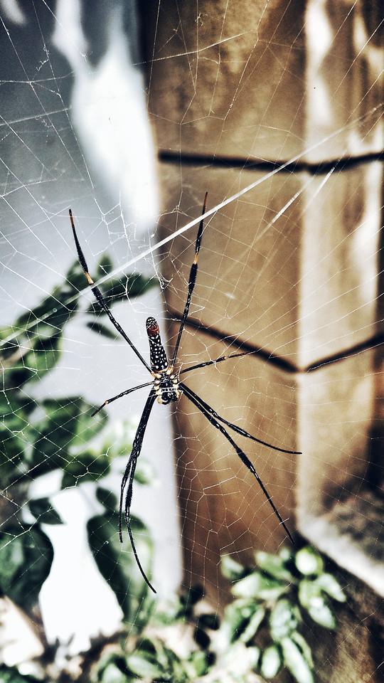 spider-spiderweb-arachnid-insect-cobweb picture material
