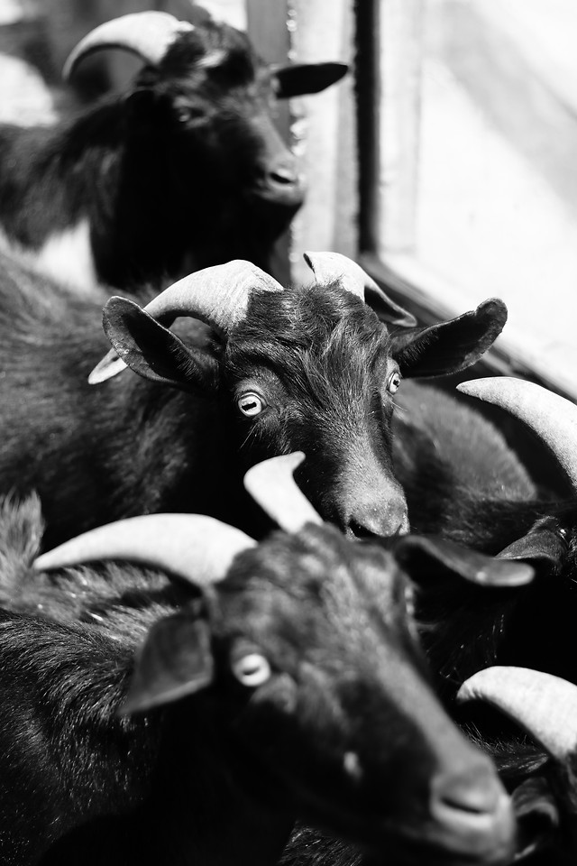monochrome-mammal-people-goats-cattle picture material