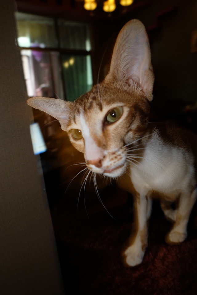 cat-portrait-cute-mammal-pet 图片素材