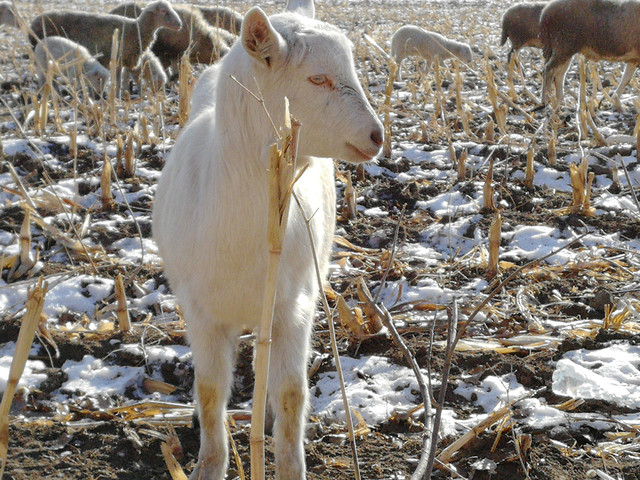 farm-agriculture-animal-mammal-livestock picture material