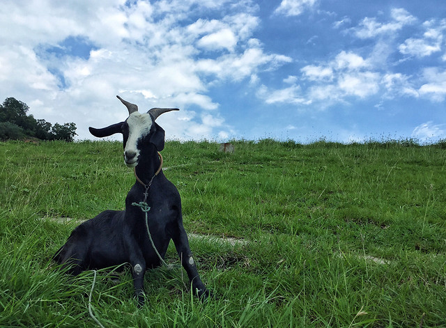 mammal-grass-no-person-goats-animal picture material