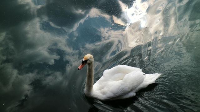 swan-bird-water-bird-beak-ducks-geese-and-swans 图片素材