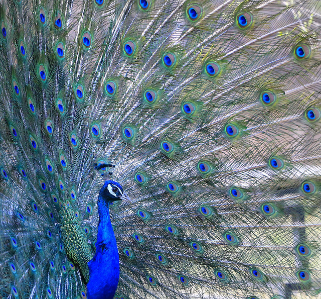 peacock-bird-peafowl-feather-dancing picture material