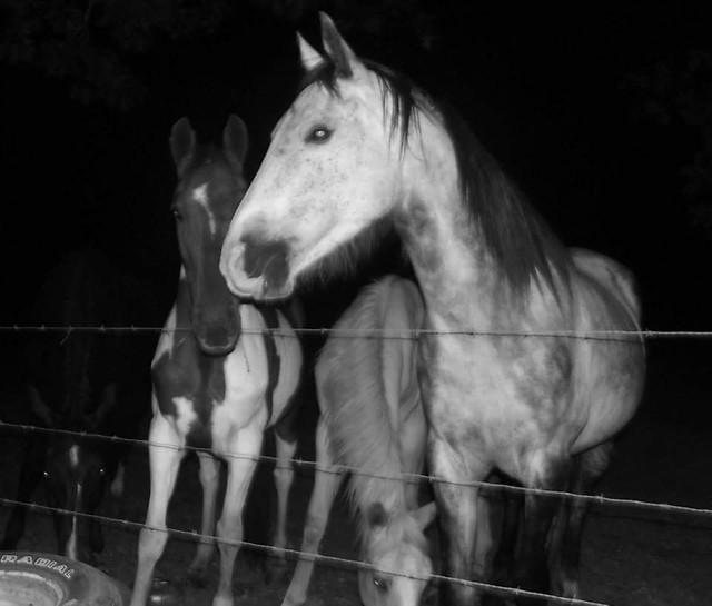cavalry-mare-stallion-mammal-horse picture material