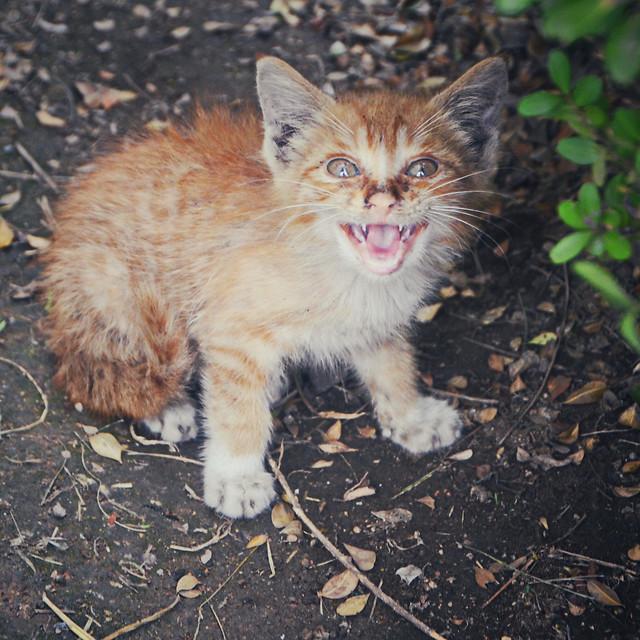 cat-cute-kitten-mammal-fur picture material